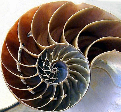Chambered Nautilus � Work